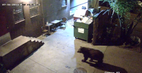 Must See! Bear Walks into Alley & Leaves withDumpster